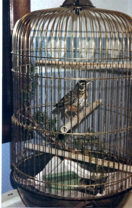 This really is a robin redbreast in a cage. His name is Bugsy, and he's an orphan. His breast will get redder when he gets a little older. A few days after this photo was taken, he flew away.