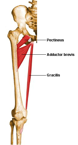 MT.AP.Muscles.Gracilis