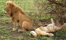 after lion