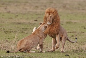 Can't say I like many porn images of face-slapping. They're not affectionate, mostly, and they creep me out. But lions are sexy beasts.