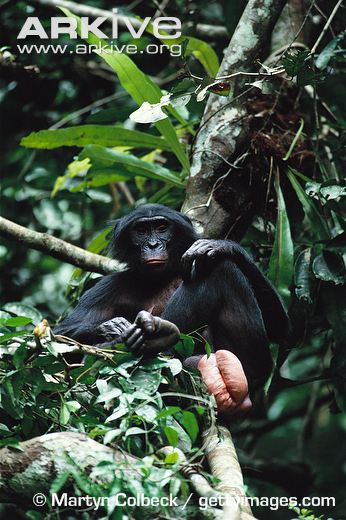 This is a young bonobo female up in a tree. (Male bonobos looking up at her ass not shown.)