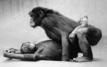 Bonobos. The bonobo female looking very relaxed. Yhis has no great relevance. I've just always liked this photo.