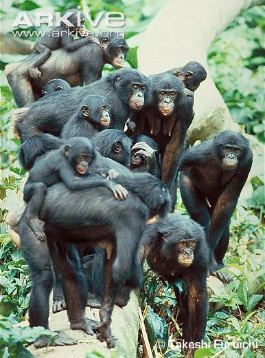 Mixed-sex-party-of-bonobos-females-in-centre