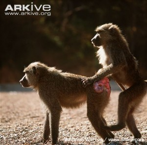 These are baboons, who are also classed as higher primates. I couldn't find a good bonobo rump presentation pic.