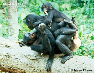A group of female bonobos rubbing genitals together. A lesbian orgy, in human terms.