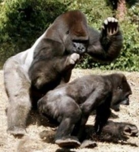 Hot primate spanking action.