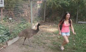 An emu stalks a jogger, who is getting her shoulders out of range.