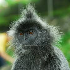 Müller's Bornean gibbon (Borneo): Better hair, smarter, larger part
